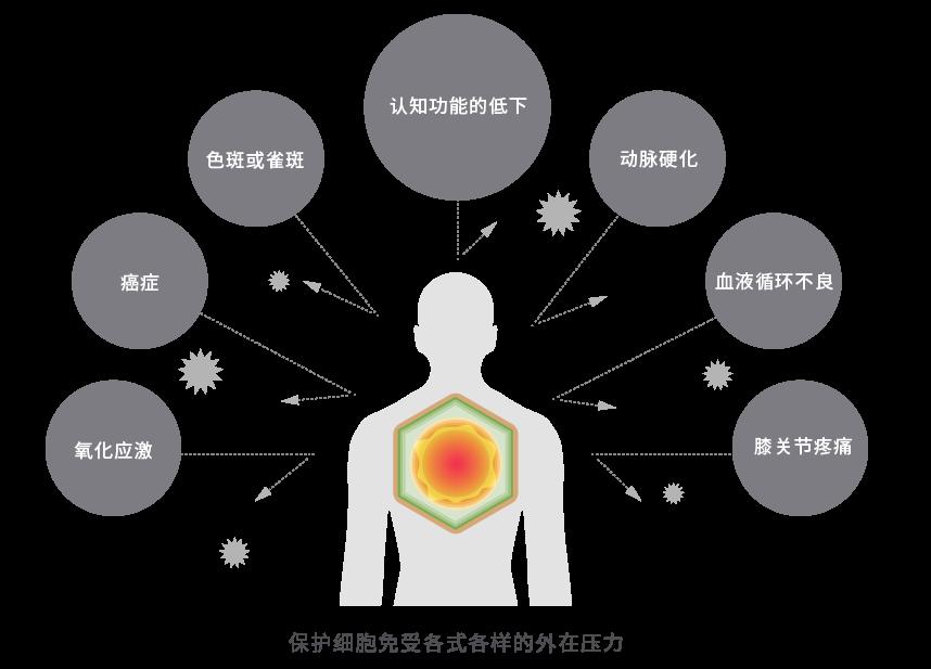 山葵萝卜硫素™对抵抗各种外部压力、脑神经细胞有效