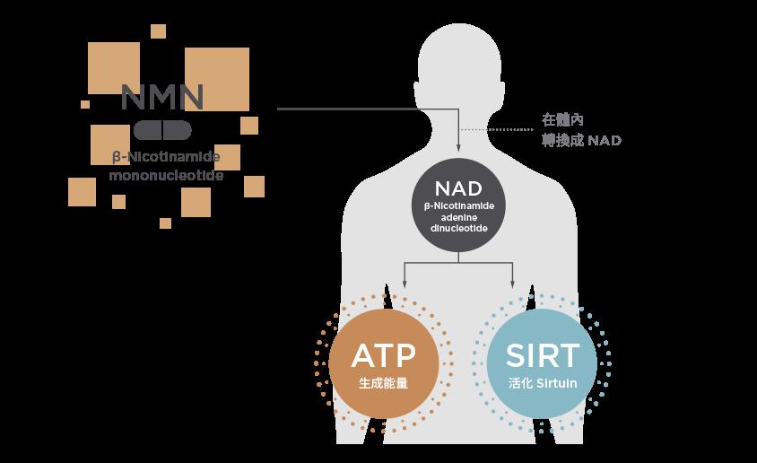 NMN老化抑制図解